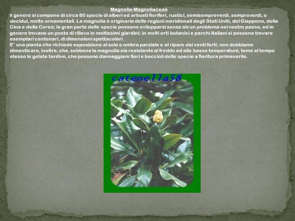 Magnolia-Magnoliaceae Il genere si compone di circa 80 specie di alberi ed arbusti fioriferi, rustici, semisempreverdi, sempreverdi, o decidui, molto ornamentali.