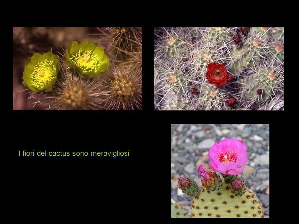 Saguaro Cactus è un simbolo di questi deserti
