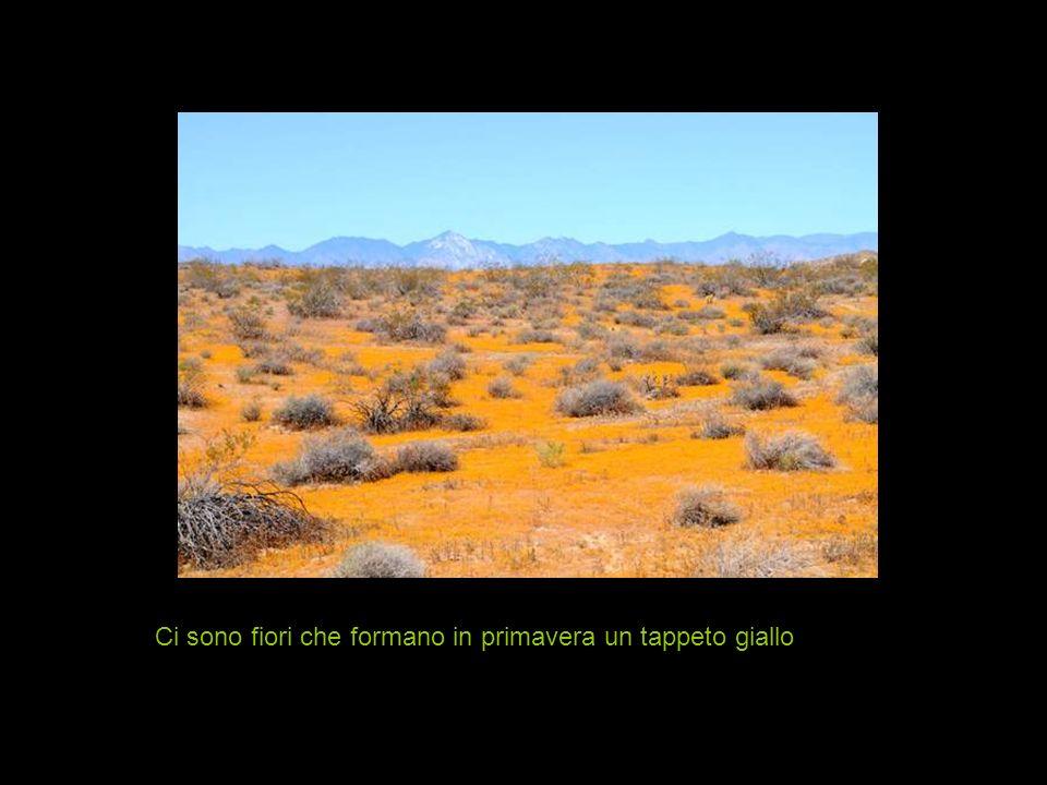 I fiori del cactus sono meravigliosi