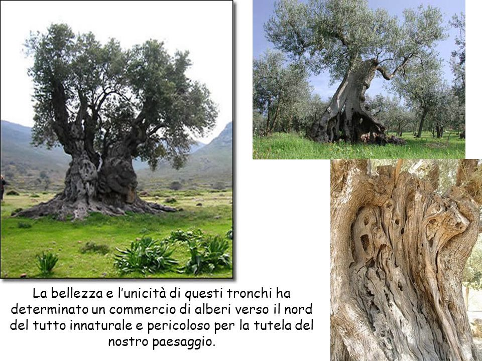 La bellezza e lunicità di questi tronchi ha determinato un commercio di alberi verso il nord del tutto innaturale e pericoloso per la tutela del nostr