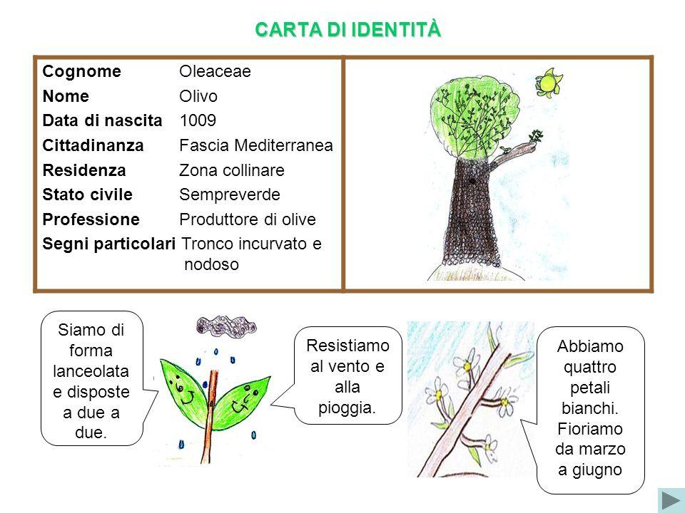 CARTA DI IDENTITÀ Cognome Oleaceae Nome Olivo Data di nascita1009 Cittadinanza Fascia Mediterranea Residenza Zona collinare Stato civile Sempreverde P
