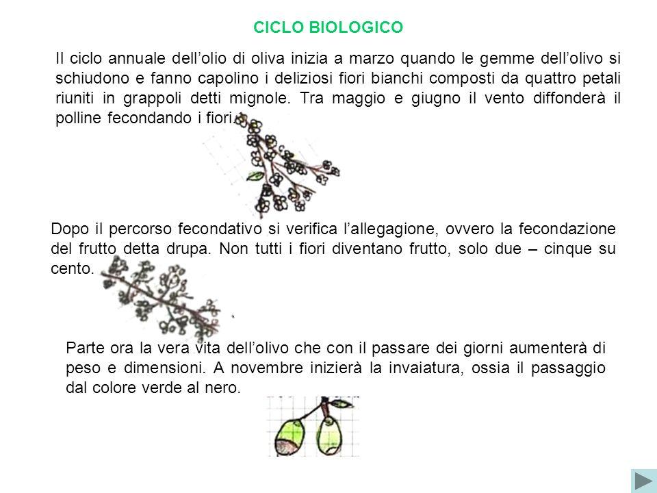 CICLO BIOLOGICO Il ciclo annuale dellolio di oliva inizia a marzo quando le gemme dellolivo si schiudono e fanno capolino i deliziosi fiori bianchi co