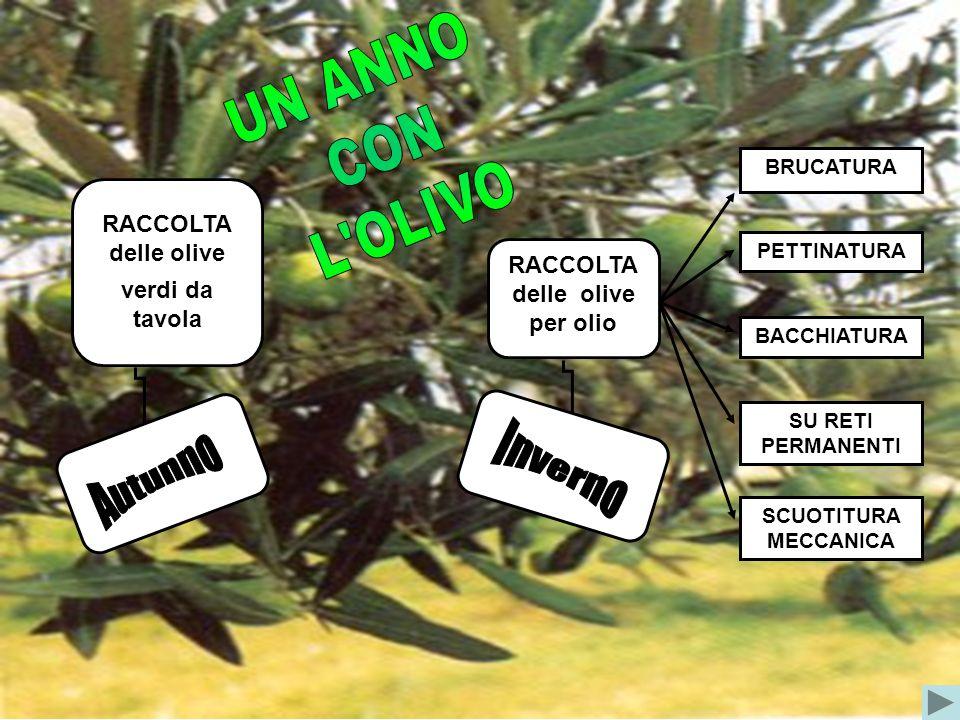 RACCOLTA delle olive verdi da tavola RACCOLTA delle olive per olio BRUCATURA PETTINATURA SU RETI PERMANENTI BACCHIATURA SCUOTITURA MECCANICA
