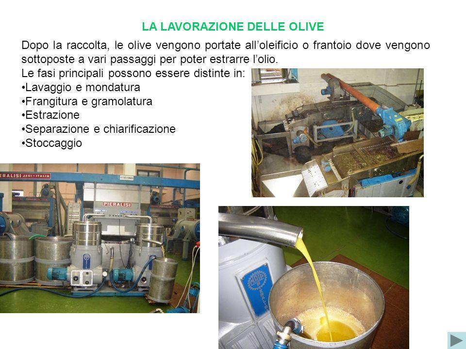 LA LAVORAZIONE DELLE OLIVE Dopo la raccolta, le olive vengono portate alloleificio o frantoio dove vengono sottoposte a vari passaggi per poter estrar