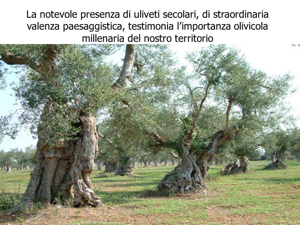 La notevole presenza di uliveti secolari, di straordinaria valenza paesaggistica, testimonia limportanza olivicola millenaria del nostro territorio