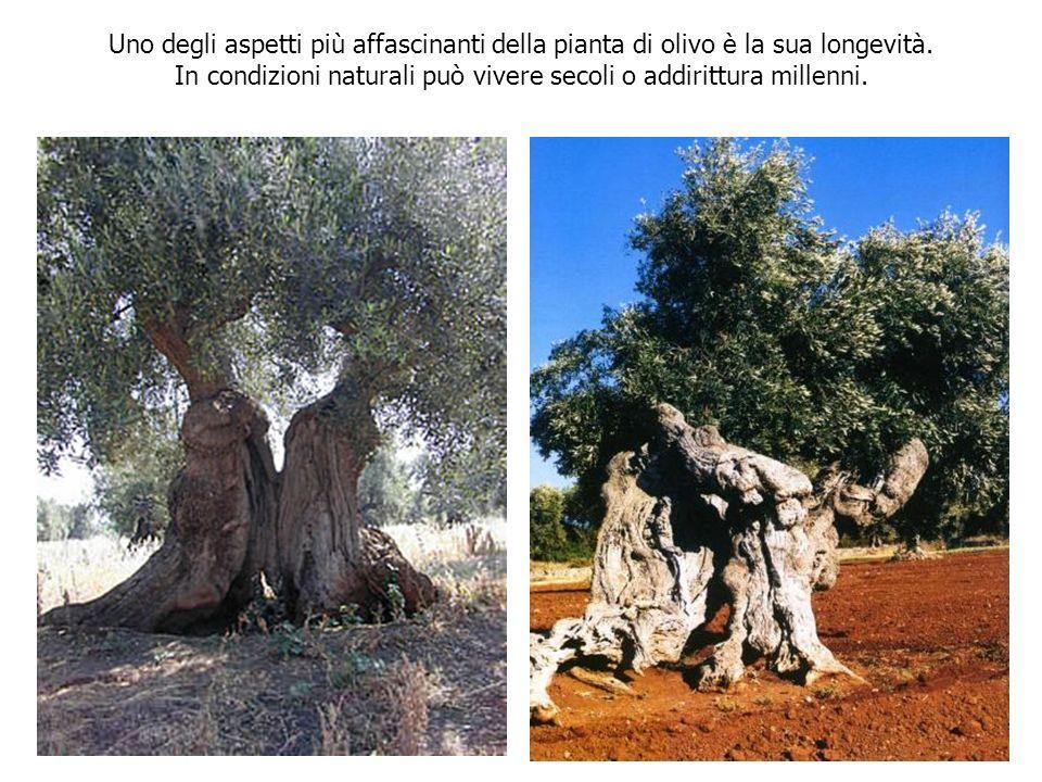 Uno degli aspetti più affascinanti della pianta di olivo è la sua longevità. In condizioni naturali può vivere secoli o addirittura millenni.