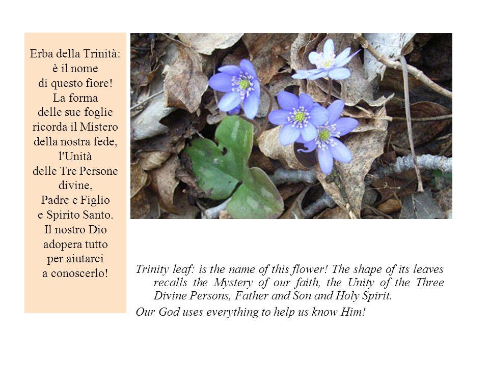 Erba della Trinità: è il nome di questo fiore! La forma delle sue foglie ricorda il Mistero della nostra fede, l'Unità delle Tre Persone divine, Padre