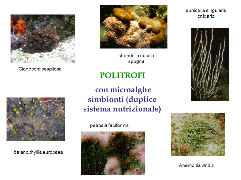 POLITROFI con microalghe simbionti (duplice sistema nutrizionale) balanophyllia europaea Anemonia viridis chondrilla nucula spugna Cladocora cespitosa