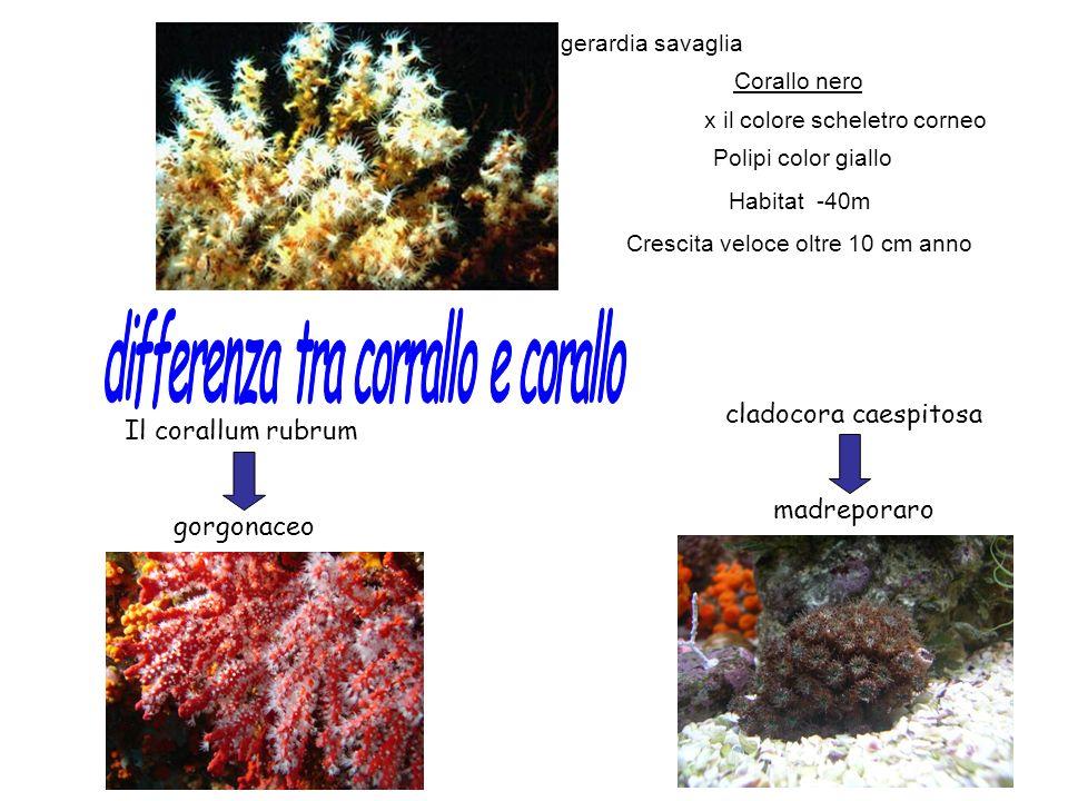 Corallo nero x il colore scheletro corneo Polipi color giallo Habitat -40m Crescita veloce oltre 10 cm anno Il corallum rubrum gorgonaceo cladocora ca