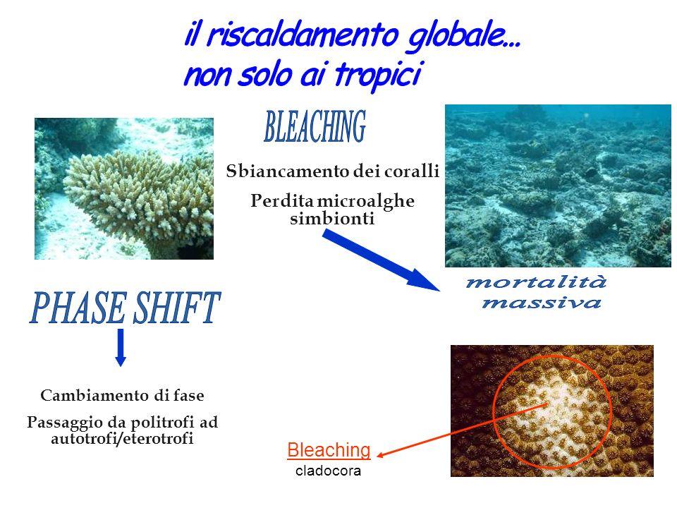 Bleaching cladocora Sbiancamento dei coralli Perdita microalghe simbionti Cambiamento di fase Passaggio da politrofi ad autotrofi/eterotrofi