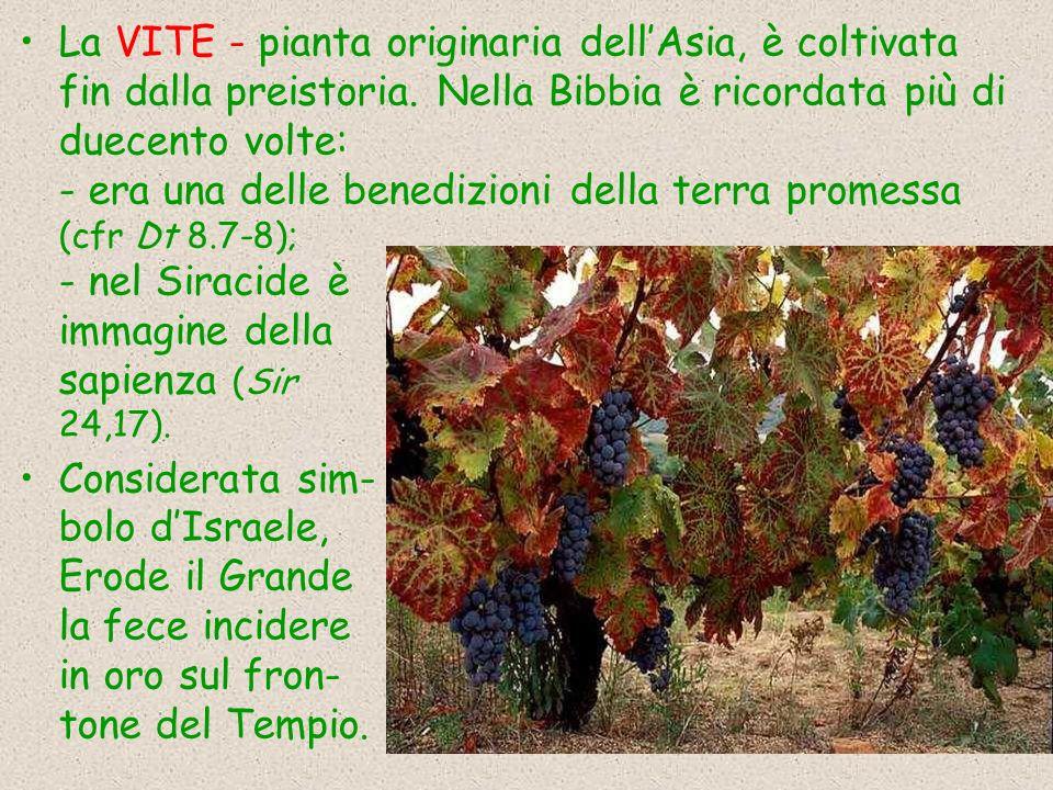 La VITE - pianta originaria dellAsia, è coltivata fin dalla preistoria. Nella Bibbia è ricordata più di duecento volte: - era una delle benedizioni de