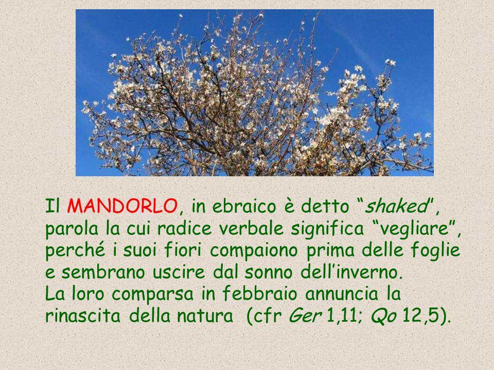 Il MANDORLO, in ebraico è detto shaked, parola la cui radice verbale significa vegliare, perché i suoi fiori compaiono prima delle foglie e sembrano uscire dal sonno dellinverno.