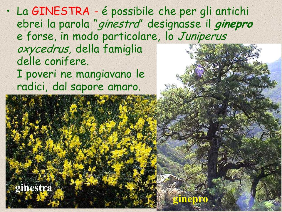 La GINESTRA - é possibile che per gli antichi ebrei la parola ginestra designasse il ginepro e forse, in modo particolare, lo Juniperus oxycedrus, della famiglia delle conifere.