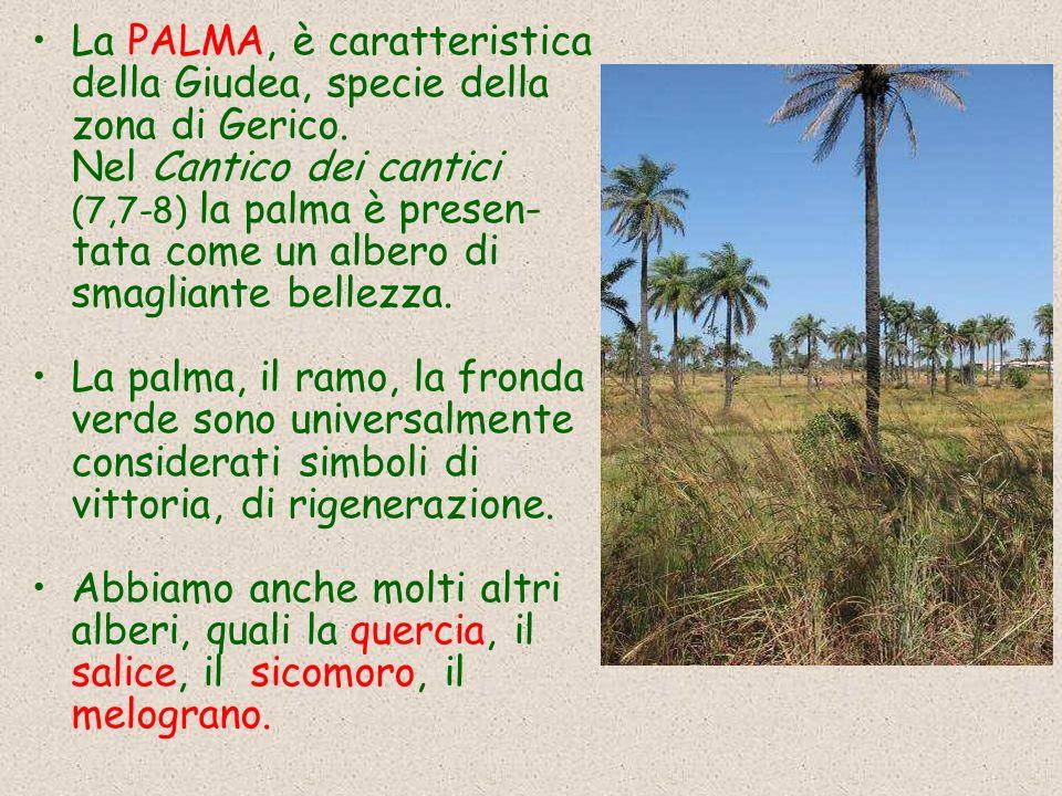 La PALMA, è caratteristica della Giudea, specie della zona di Gerico. Nel Cantico dei cantici (7,7-8) la palma è presen- tata come un albero di smagli