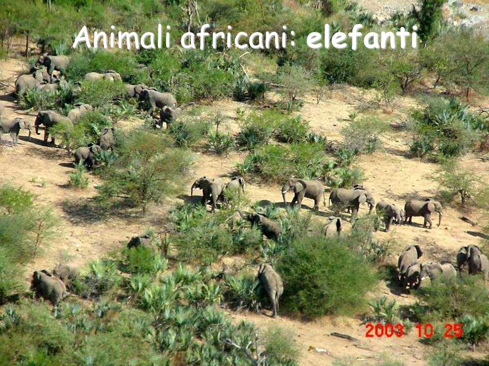 Animali africani: elefanti