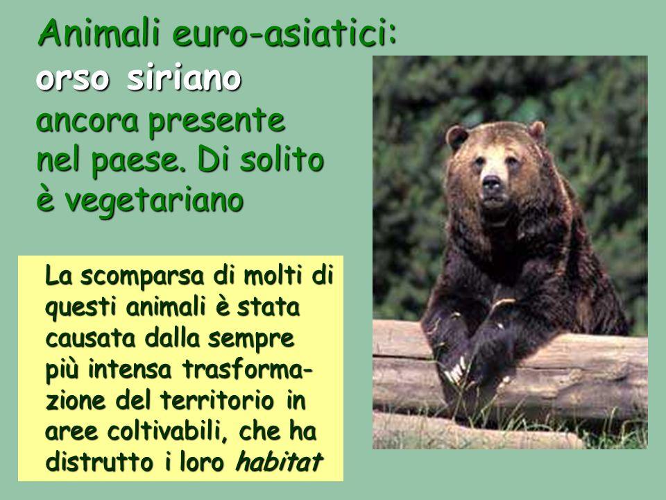 Animali euro-asiatici: orso siriano ancora presente nel paese. Di solito è vegetariano La scomparsa di molti di questi animali è stata causata dalla s