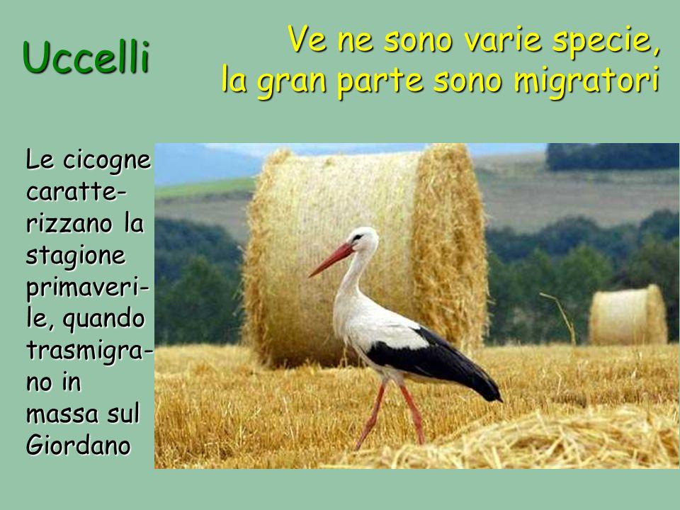 Uccelli Ve ne sono varie specie, la gran parte sono migratori Le cicogne caratte- rizzano la stagione primaveri- le, quando trasmigra- no in massa sul Giordano