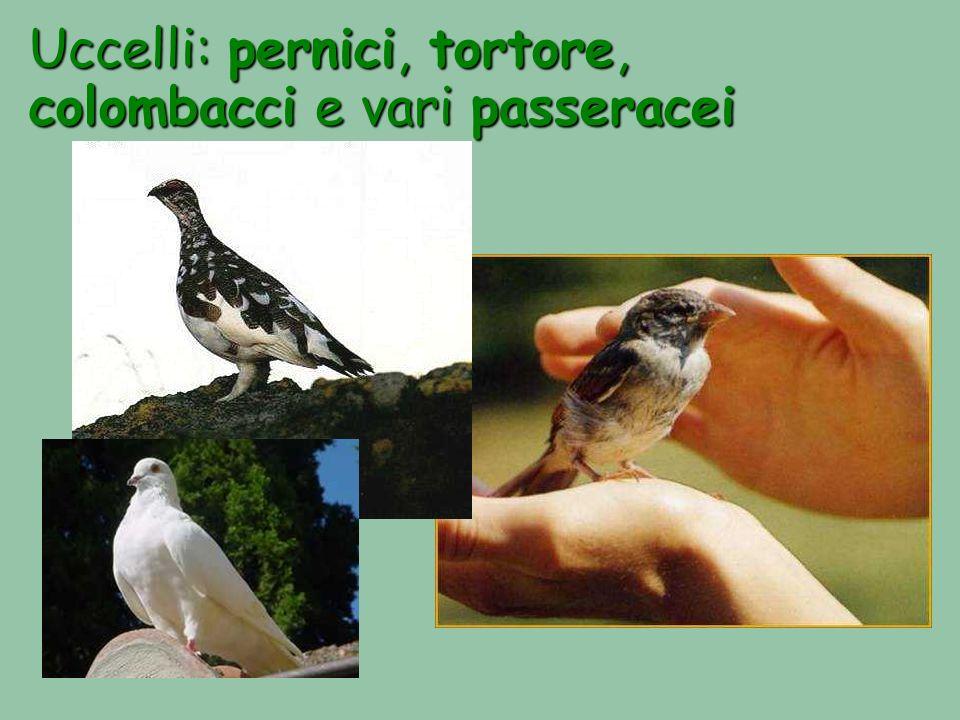 Uccelli: pernici, pernici, tortore, colombacci colombacci e vari passeracei