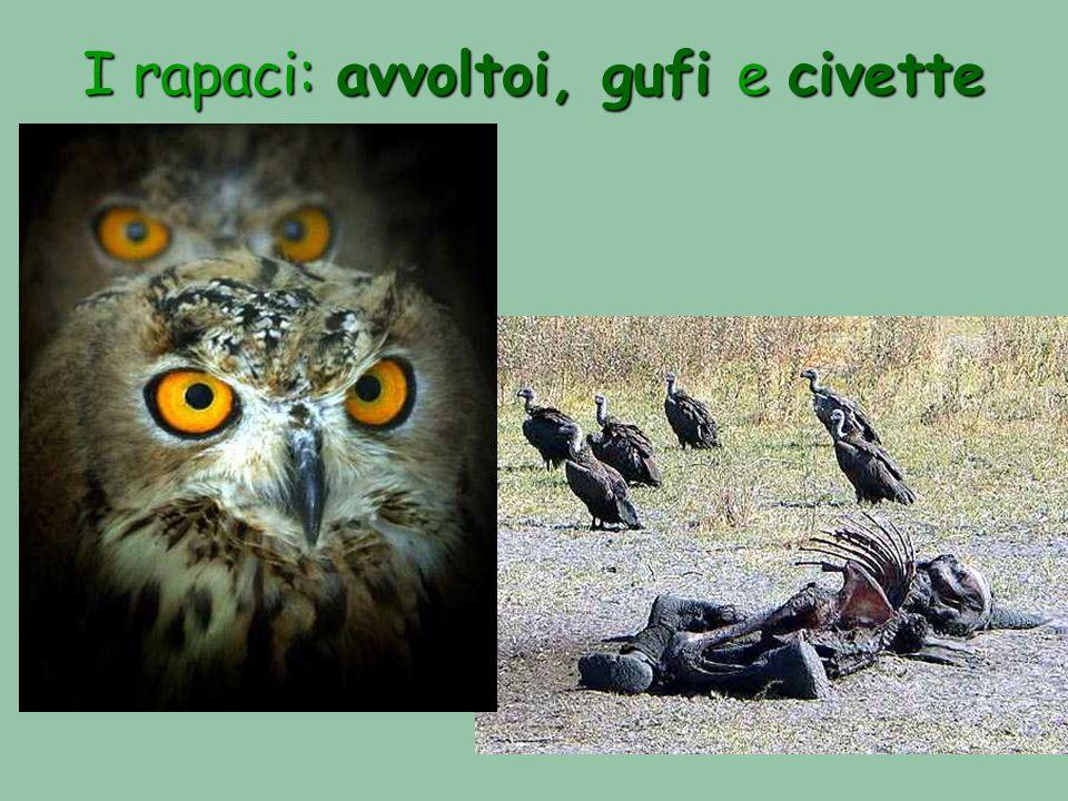 I rapaci: avvoltoi, gufi e civette