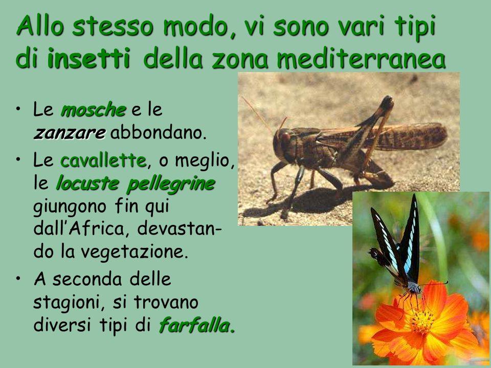 Allo stesso modo, vi sono vari tipi di insetti della zona mediterranea mosche zanzareLe mosche e le zanzare abbondano. cavallette locuste pellegrineLe
