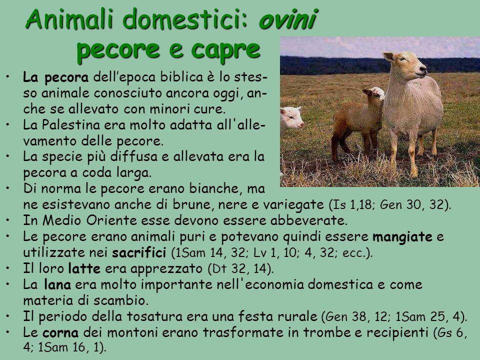 Animali domestici: ovini pecore e capre La pecora dellepoca biblica è lo stes- so animale conosciuto ancora oggi, an- che se allevato con minori cure.