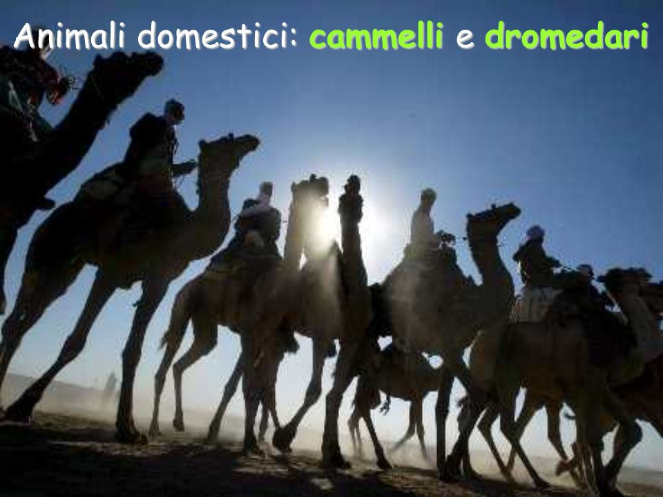 Animali domestici: cammelli e dromedari