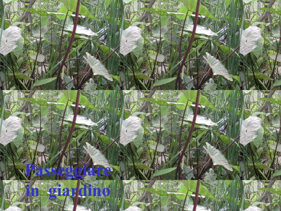 Ninfea Le ninfee sono piante acquatiche Fluttuano sulla superficie delle acque stagnanti Sono sorrette da un lungo fusto radicato nel fondale Alcune varietà crescono invece completamente sommerse