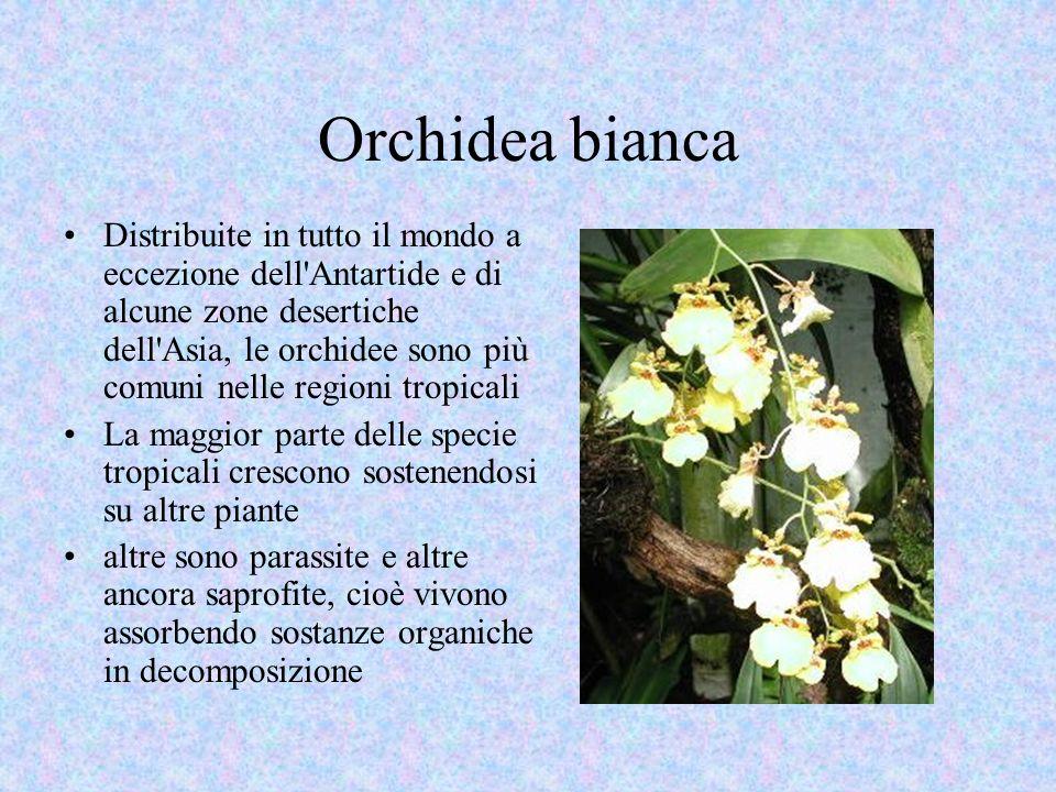 Orchidea bianca Distribuite in tutto il mondo a eccezione dell Antartide e di alcune zone desertiche dell Asia, le orchidee sono più comuni nelle regioni tropicali La maggior parte delle specie tropicali crescono sostenendosi su altre piante altre sono parassite e altre ancora saprofite, cioè vivono assorbendo sostanze organiche in decomposizione