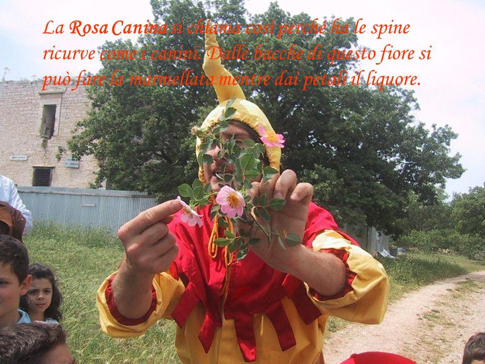 La Rosa Canina si chiama così perché ha le spine ricurve come i canini.