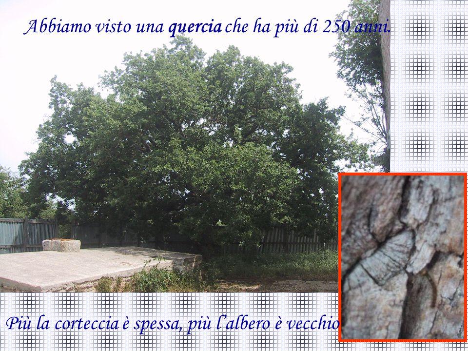 Abbiamo visto una quercia che ha più di 250 anni. Più la corteccia è spessa, più lalbero è vecchio