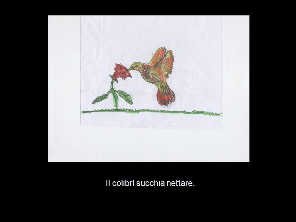 Il colibrì succhia nettare.
