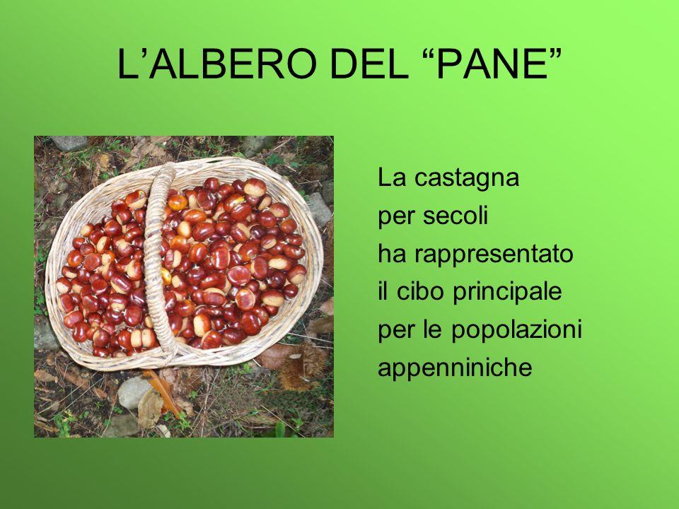 LALBERO DEL PANE La castagna per secoli ha rappresentato il cibo principale per le popolazioni appenniniche