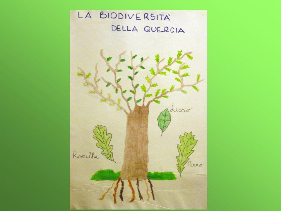LECCIO Quercus ilex L.