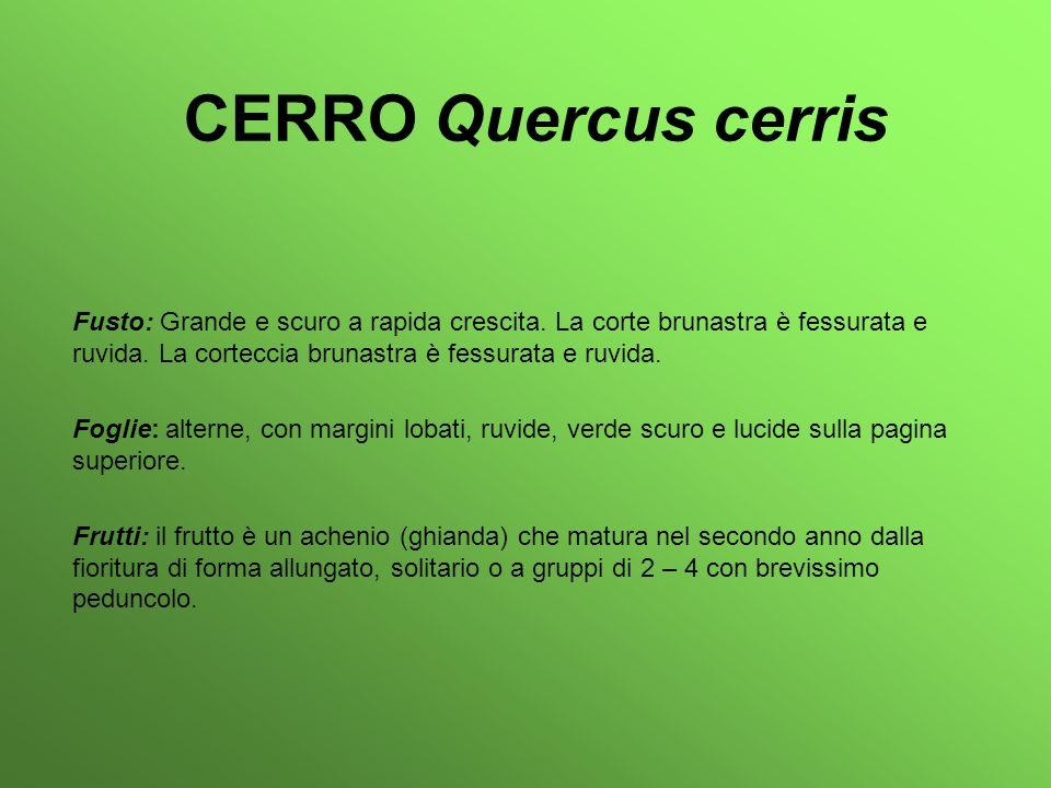 CERRO Quercus cerris Fusto: Grande e scuro a rapida crescita. La corte brunastra è fessurata e ruvida. La corteccia brunastra è fessurata e ruvida. Fo