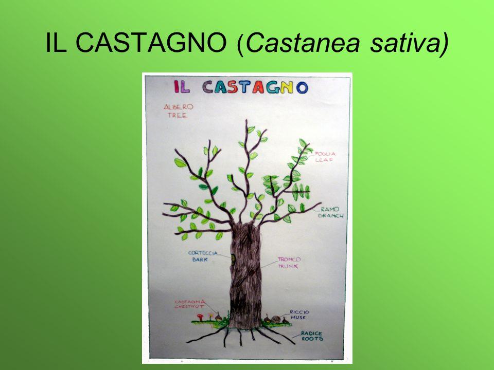 IL CASTAGNO ( Castanea sativa)