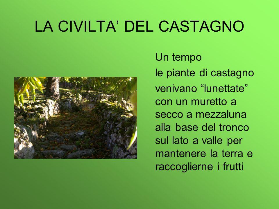 LA CIVILTA DEL CASTAGNO Un tempo le piante di castagno venivanolunettate con un muretto a secco a mezzaluna alla base del tronco sul lato a valle per