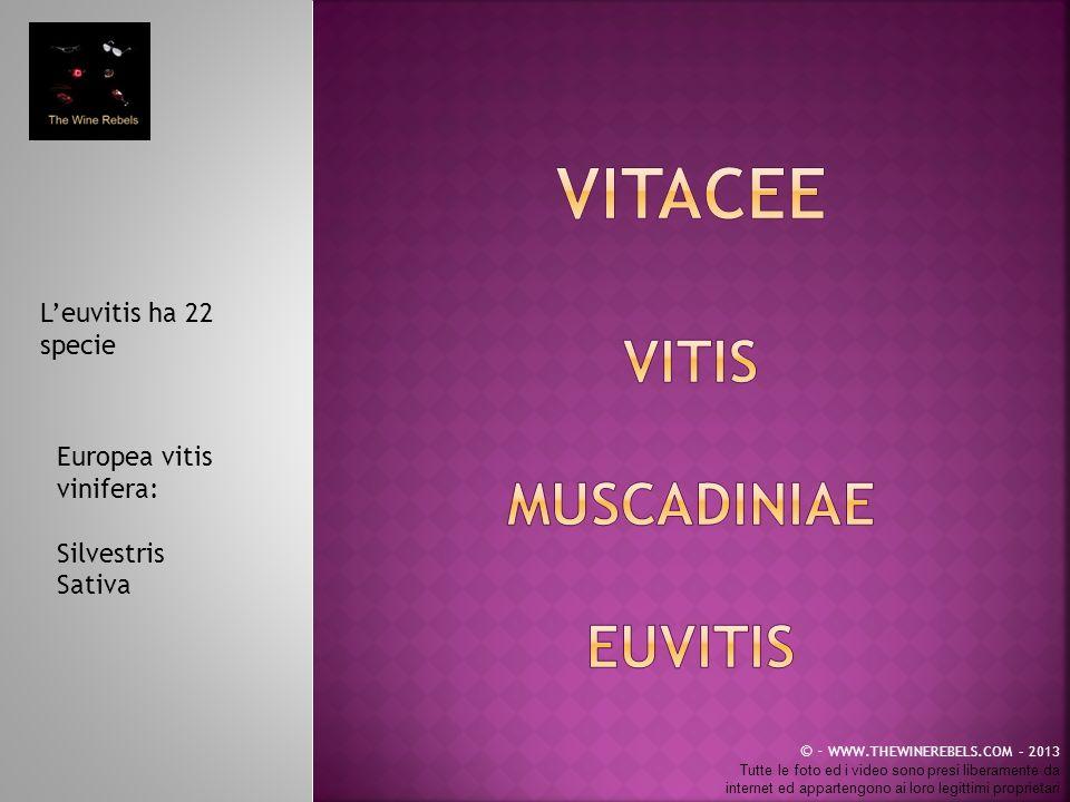 Leuvitis ha 22 specie Europea vitis vinifera: Silvestris Sativa © - WWW.THEWINEREBELS.COM – 2013 Tutte le foto ed i video sono presi liberamente da in