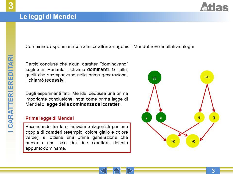 3 3 Compiendo esperimenti con altri caratteri antagonisti, Mendel trovò risultati analoghi. Perciò concluse che alcuni caratteri