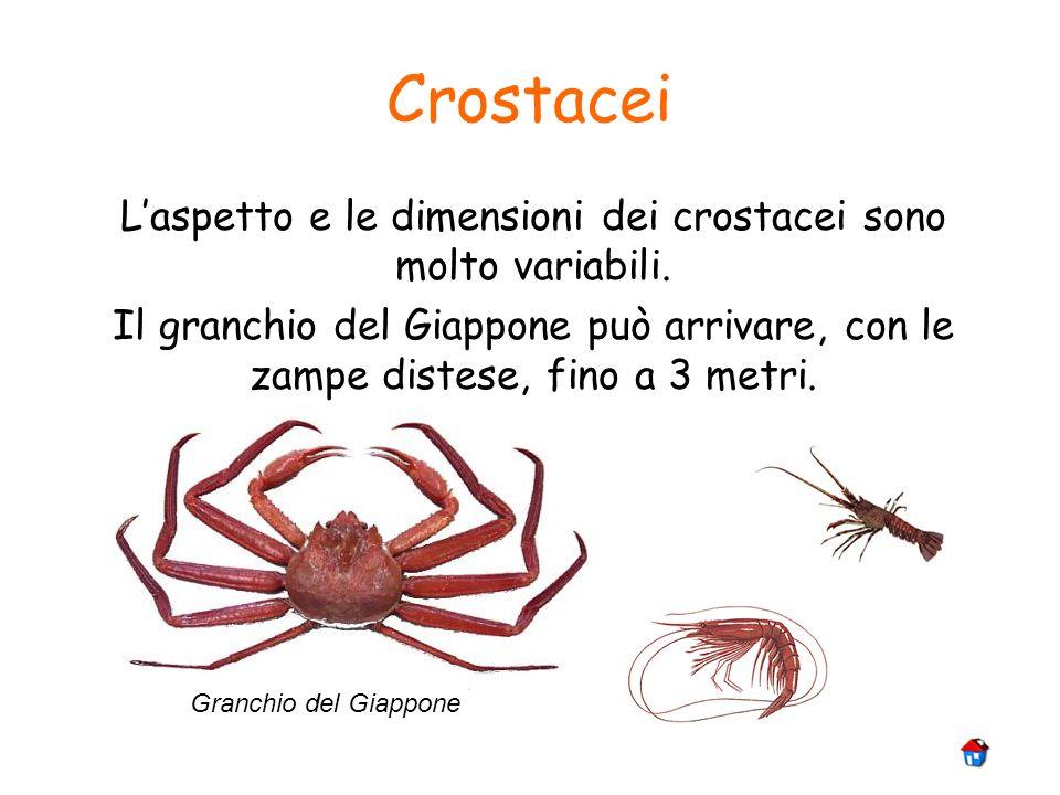 Crostacei Granchio del Giappone Laspetto e le dimensioni dei crostacei sono molto variabili. Il granchio del Giappone può arrivare, con le zampe diste