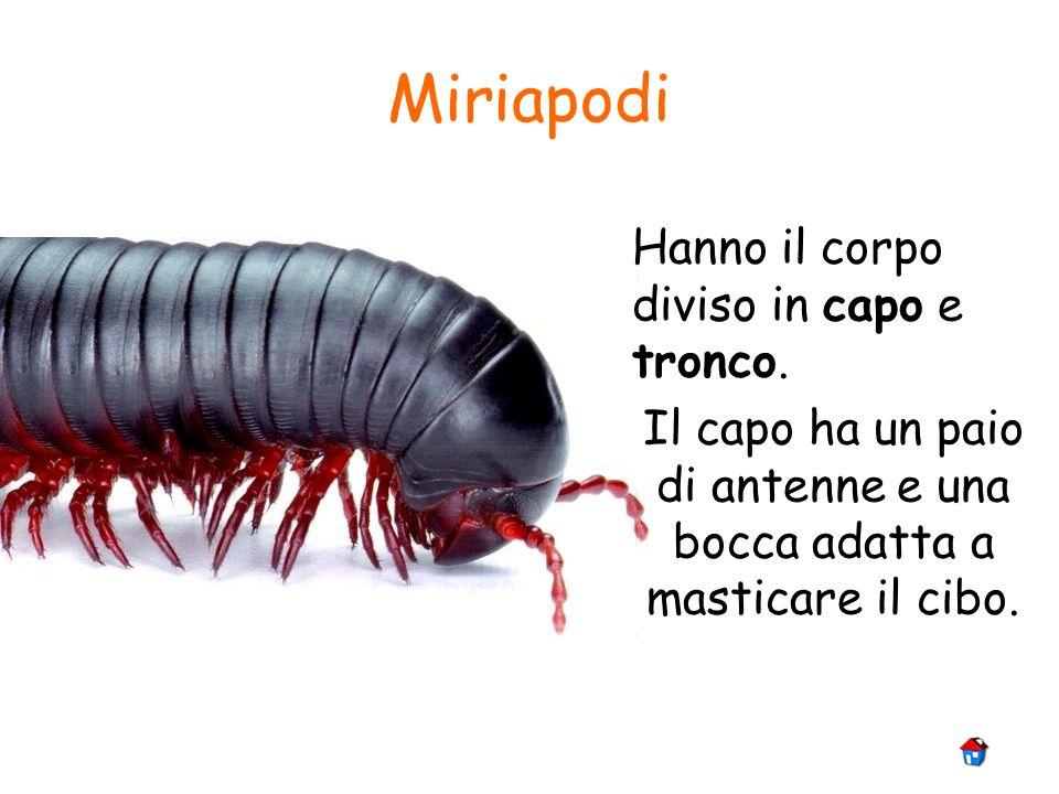 Miriapodi Hanno il corpo diviso in capo e tronco. Il capo ha un paio di antenne e una bocca adatta a masticare il cibo.