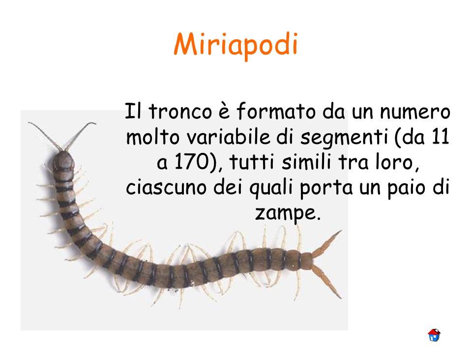 Miriapodi Il tronco è formato da un numero molto variabile di segmenti (da 11 a 170), tutti simili tra loro, ciascuno dei quali porta un paio di zampe
