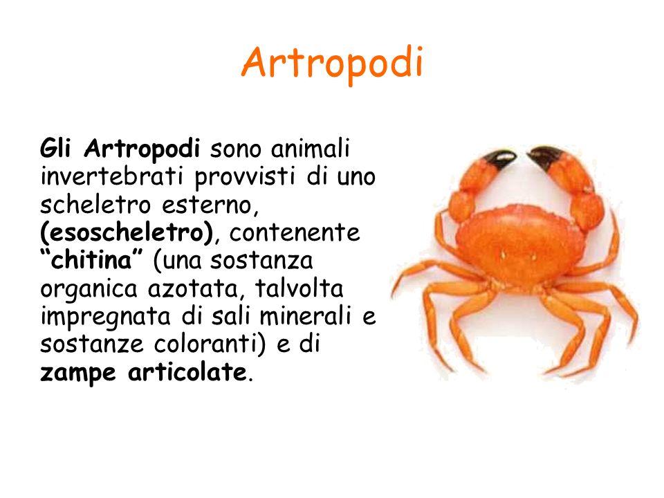 Artropodi Gli Artropodi sono animali invertebrati provvisti di uno scheletro esterno, (esoscheletro), contenente chitina (una sostanza organica azotat