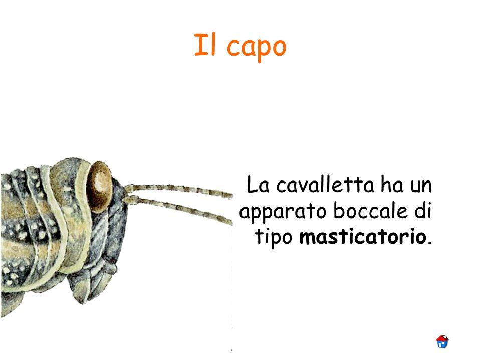 Il capo La cavalletta ha un apparato boccale di tipo masticatorio.