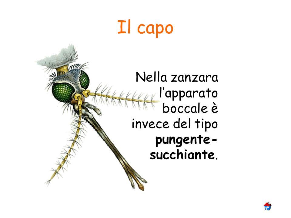 Il capo Nella zanzara lapparato boccale è invece del tipo pungente- succhiante.