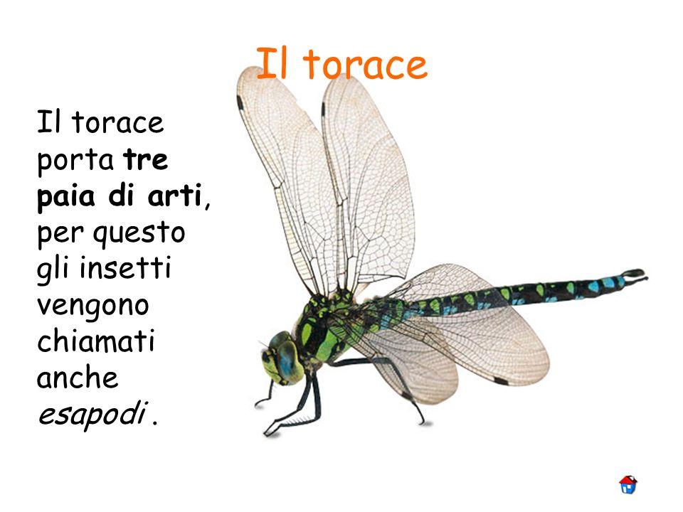 Il torace porta tre paia di arti, per questo gli insetti vengono chiamati anche esapodi. Il torace