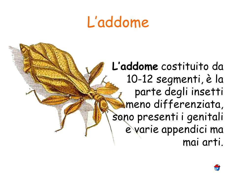 Laddome Laddome costituito da 10-12 segmenti, è la parte degli insetti meno differenziata, sono presenti i genitali e varie appendici ma mai arti.