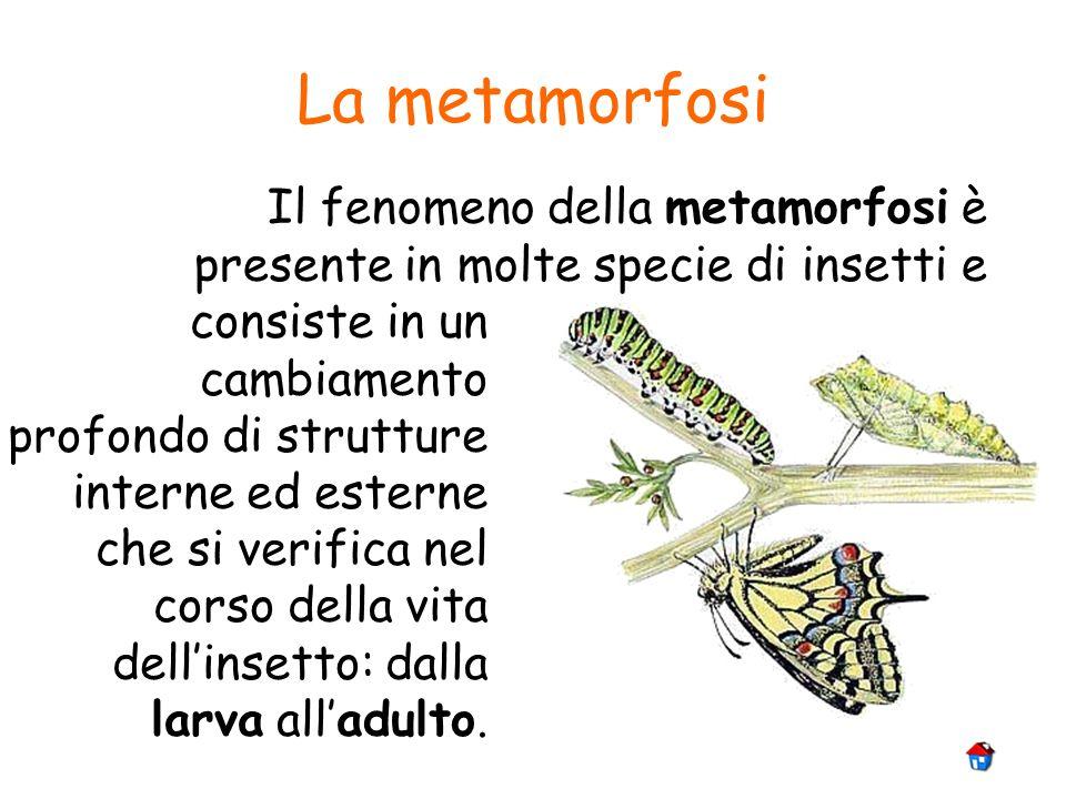La metamorfosi Il fenomeno della metamorfosi è presente in molte specie di insetti e consiste in un cambiamento profondo di strutture interne ed ester
