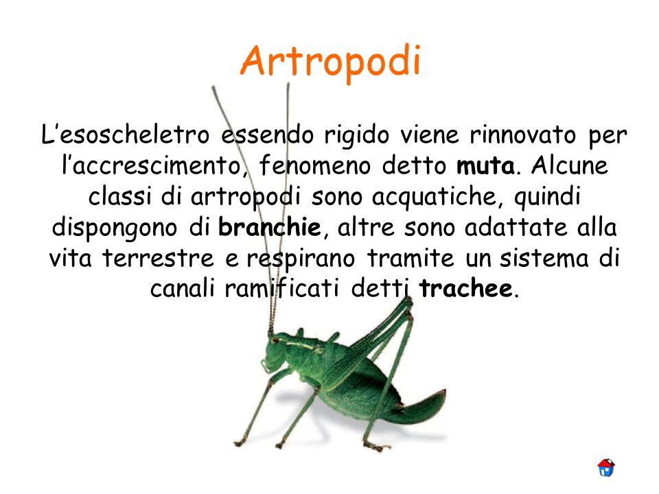 Artropodi Lesoscheletro essendo rigido viene rinnovato per laccrescimento, fenomeno detto muta. Alcune classi di artropodi sono acquatiche, quindi dis