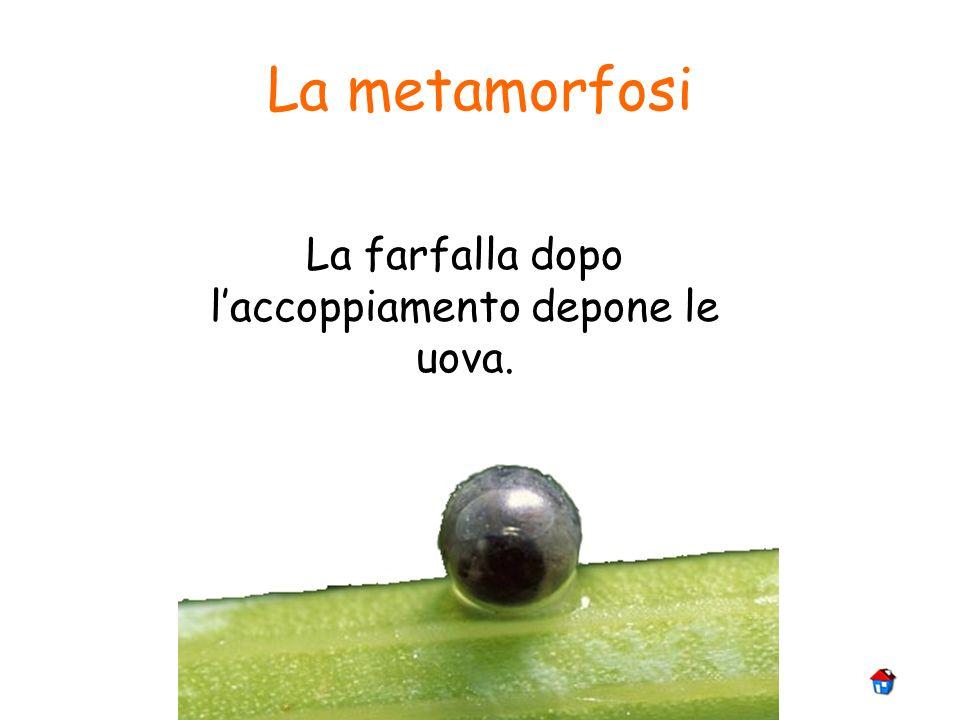 La metamorfosi La farfalla dopo laccoppiamento depone le uova.
