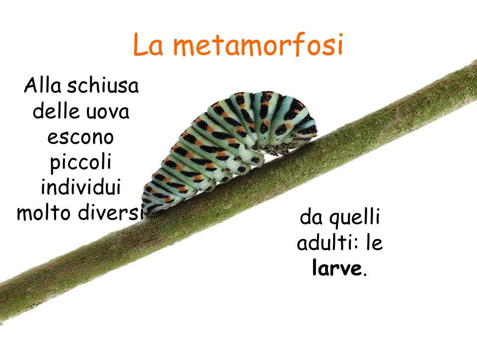 La metamorfosi Alla schiusa delle uova escono piccoli individui molto diversi da quelli adulti: le larve.